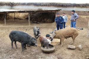 Granja de cerditos Aulas Abiertas Perú